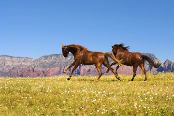 If you are interested in Arizona horse properties throughout some of the most spectacular scenery in America, call Sedona Realtor Lee Congdon at 928-525-4720.